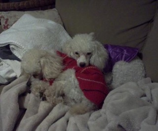 Carolina Poodle Rescue Newsletter